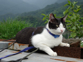 Cats of Houtong, Cat Lai 231, #9611