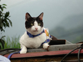 Cats of Houtong, Cat Lai 231, #9620
