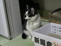 よつば@里親さがし猫カフェ「おっぽ」, #1904
