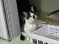 よつば@里親さがし猫カフェ「おっぽ」, #1905