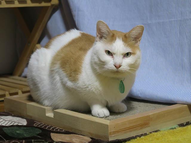 そら@里親さがし猫カフェ「おっぽ」, #1908
