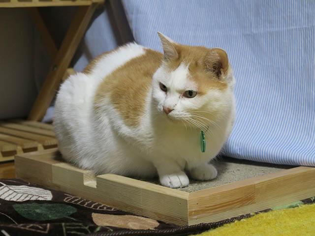 そら@里親さがし猫カフェ「おっぽ」, #1909