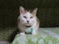 さくら@里親さがし猫カフェ「おっぽ」, #1911