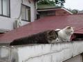 白峯寺の猫, #1929