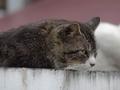白峯寺の猫, #1933