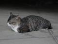 白峯寺の猫, #1966