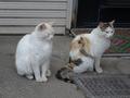 白峯寺の猫, #1980