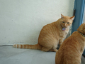 Cats of Houtong, 帥胖胖&Oreo@Catwalk219, #3222