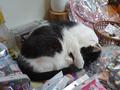 Cats of Houtong, 小蝦蝦@Catwalk219, #3293