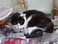 Cats of Houtong, 小蝦蝦@Catwalk219, #3300