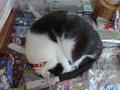 Cats of Houtong, 小蝦蝦@Catwalk219, #3333