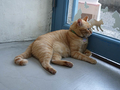 Cats of Houtong, 帥胖胖@Catwalk219, #3336