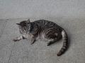 Cats of Kyoto, ツキ@梅宮大社, #3770