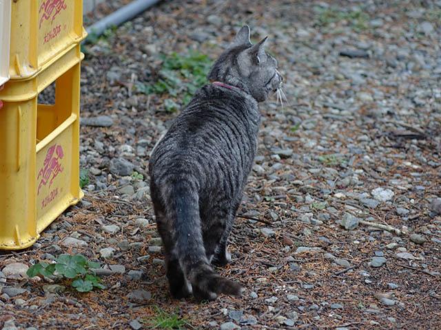 Cats of Kyoto, ツキ@梅宮大社, #3771