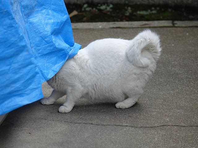 Cats of Kyoto, 梅宮大社, #3782