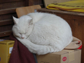 Cats of Kyoto, 梅宮大社, #3787