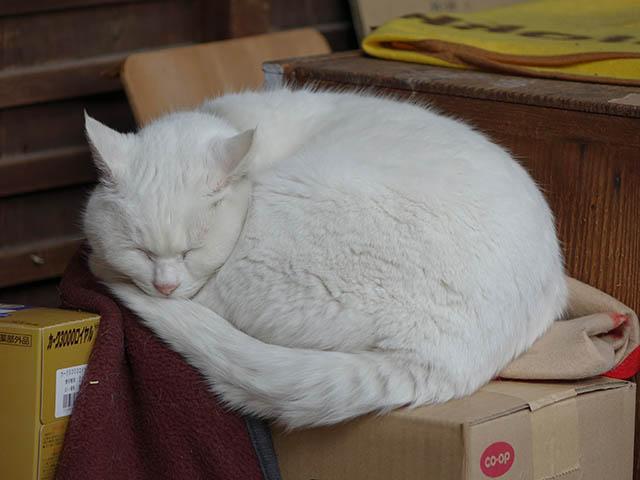 Cats of Kyoto, 梅宮大社, #3788