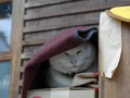Cats of Kyoto, 梅宮大社, #3791