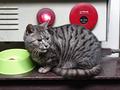 Cats of Kyoto, ツキ@梅宮大社, #3799