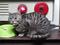 Cats of Kyoto, ツキ@梅宮大社, #3800