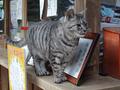 Cats of Kyoto, ツキ@梅宮大社, #3812