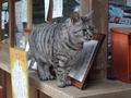 Cats of Kyoto, ツキ@梅宮大社, #3813