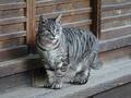 Cats of Kyoto, ツキ@梅宮大社, #3816