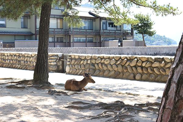 木陰で休む宮島のシカ