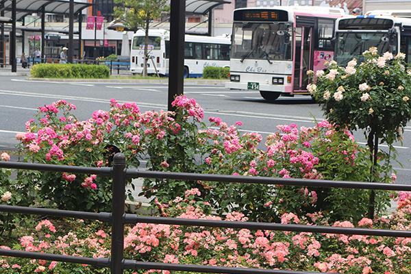 福山 バラ