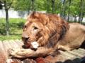 ライオン@多摩動物公園