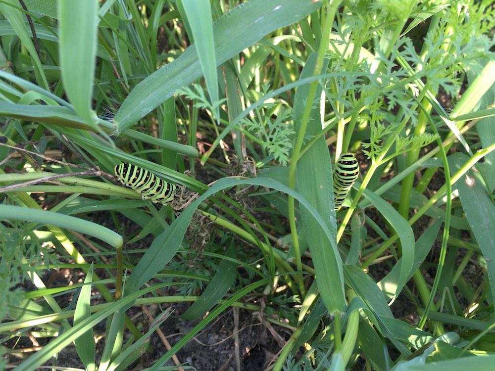 ニンジン畑のアゲハの幼虫