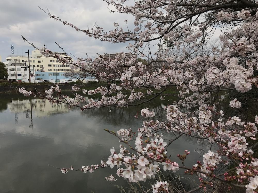 2017.4.1 佐賀県庁前 桜開花状況