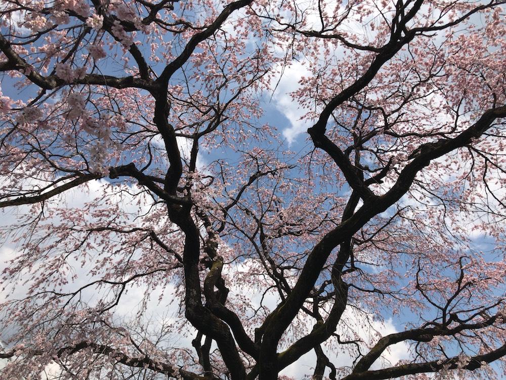 あの世の桜