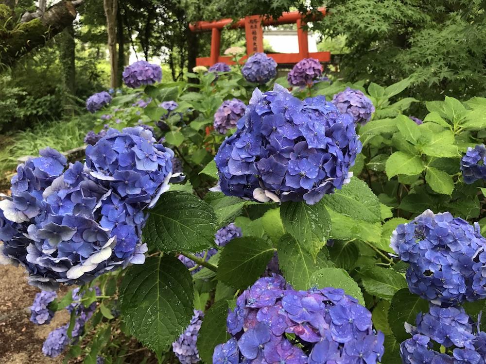 2017 櫛田宮 紫陽花