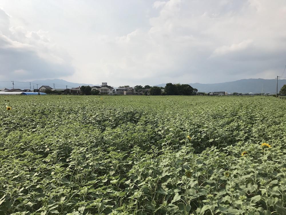 2017.7.23 ひょうたん島公園 ひまわり