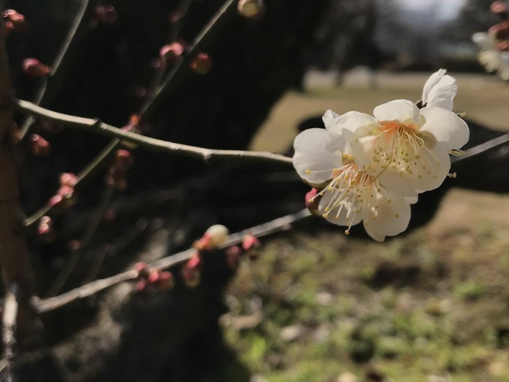 2018.2 小城公園 桜