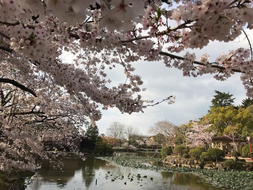 2019 神野公園 桜