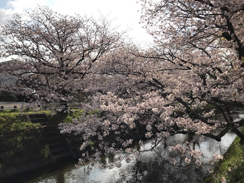 2019 多布施川 桜