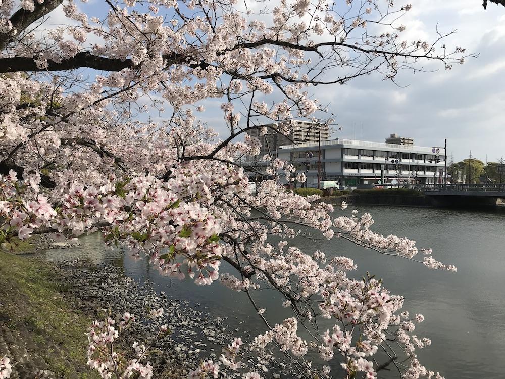2019 佐賀県庁前 桜
