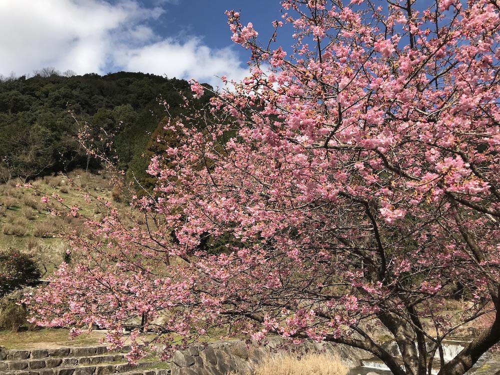 2020見返りの滝 河津桜