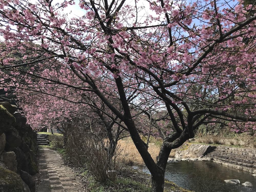 佐賀 河津桜