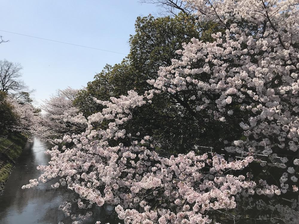 2020 多布施川沿い 桜満開