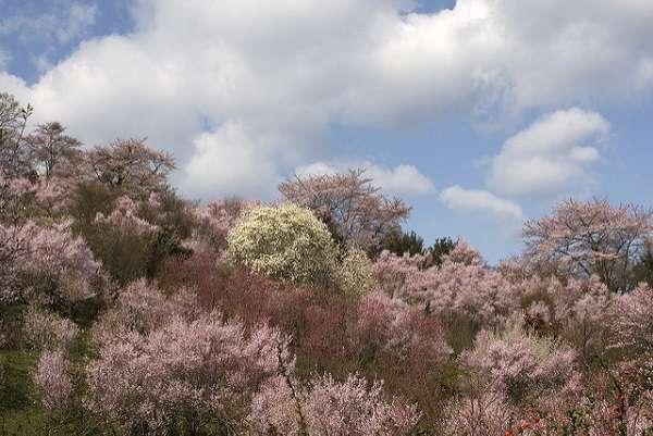花見山公園10:plain