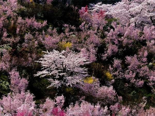 花見山公園9:plain