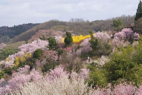 花見山公園11:plain