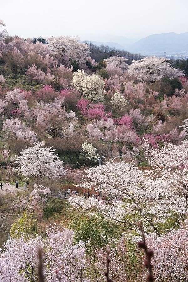 花見山公園20:plain