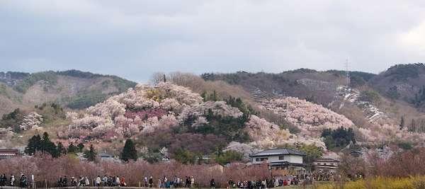 花見山公園7:plain