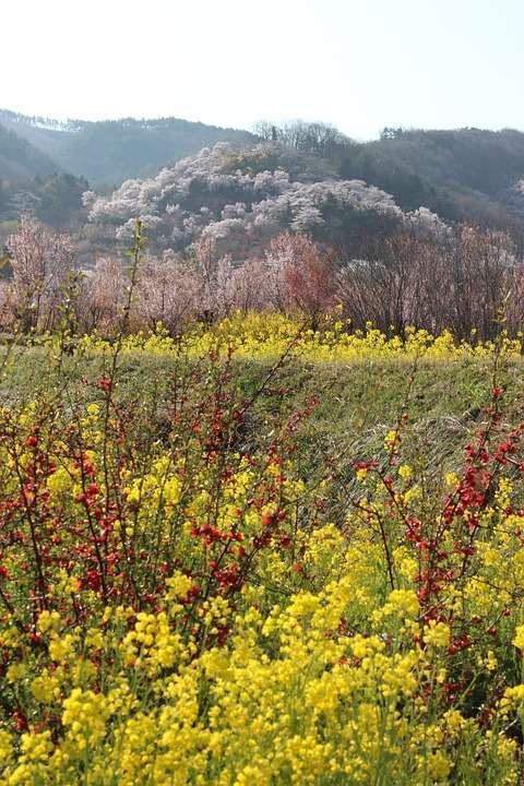 花見山公園8:plain
