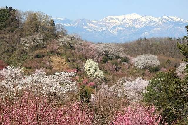 花見山公園19:plain