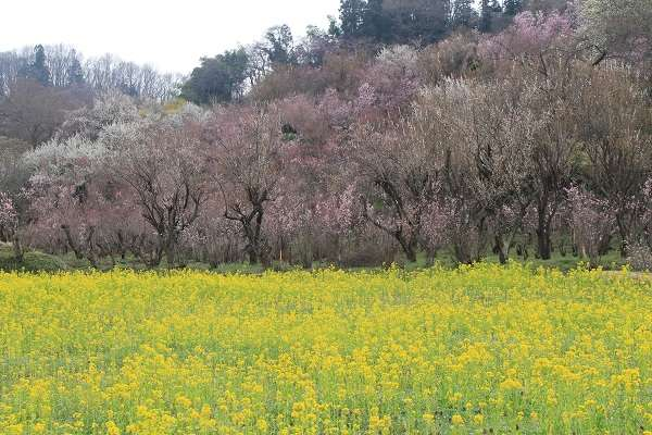 花見山公園1:plain